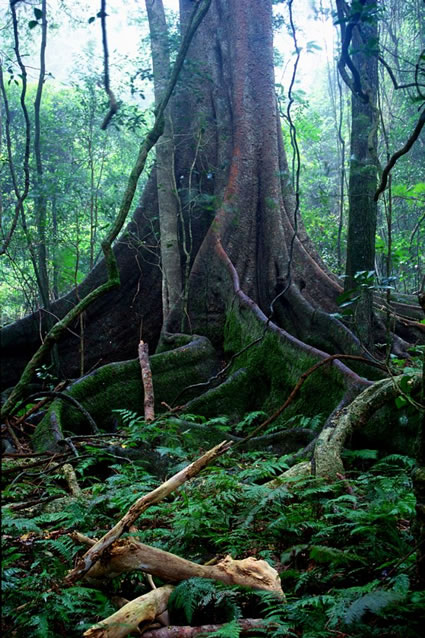 Rainforest Tree 2 - Bunya Mountains NP - QLD