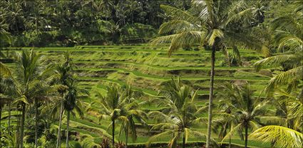 Rice Terraces - Bali T (PBH4 00 16578)