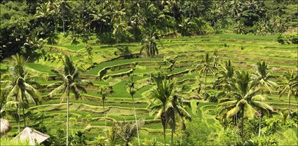 Rice Terraces - Bali T (PBH4 00 16584)