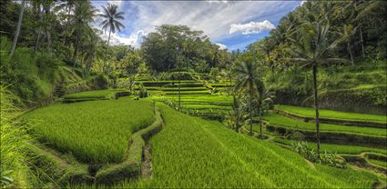 Rice Terraces - Bali T (PBH4 00 16702)