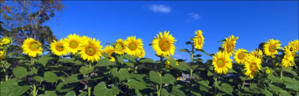 Sunflowers - NSW H (PBH3 00 0415)