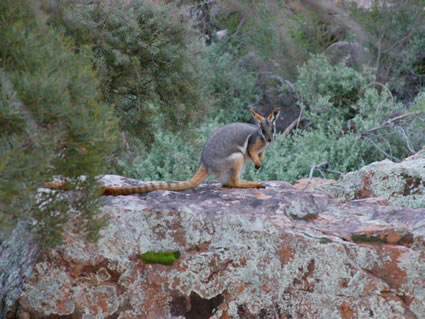 Yellow Footed Rock Wallaby 6C4V2681