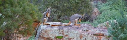 Yellow Footed Rock Wallaby 6C4V2682