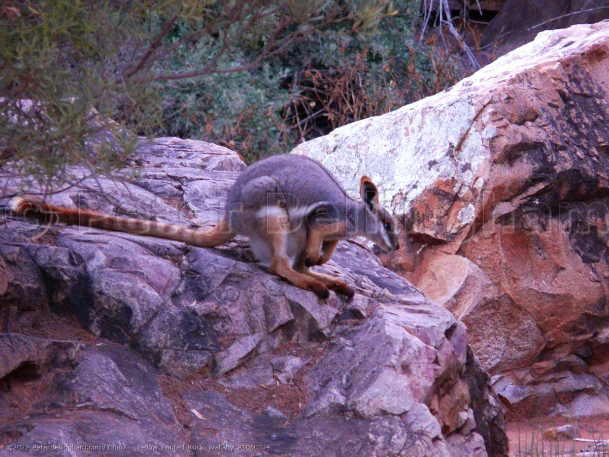 Peter Bellingham Photography Yellow Footed Rock Wallaby P1050534