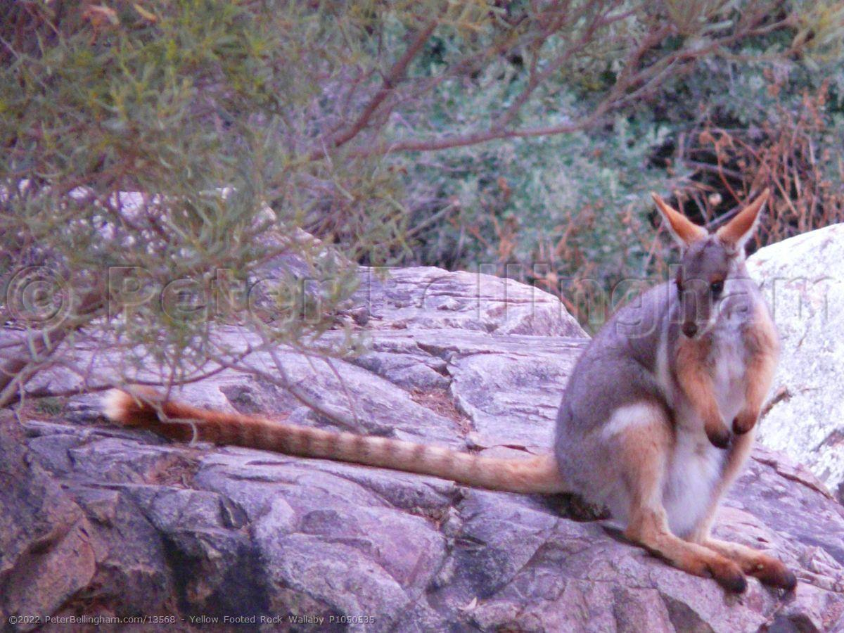 Peter Bellingham Photography Yellow Footed Rock Wallaby P1050535