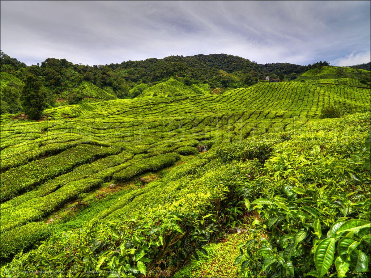 Peter Bellingham Photography Cameron Highlands SQ (PBH3 00 23555)