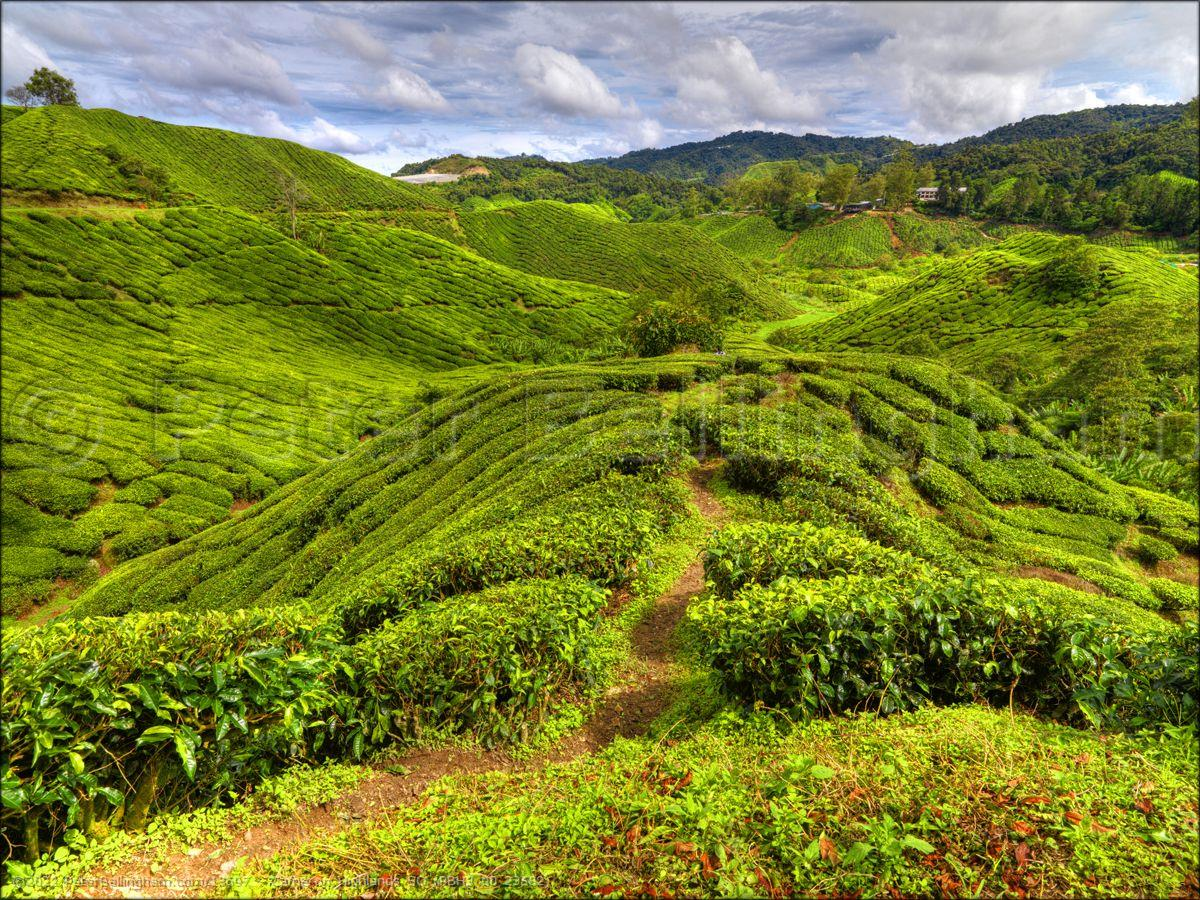 Peter Bellingham Photography Cameron Highlands SQ (PBH3 00 23582)