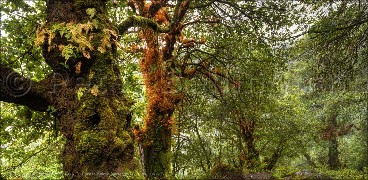 Peter Bellingham Photography Forest below Monastry T (PBH3 00 23703)