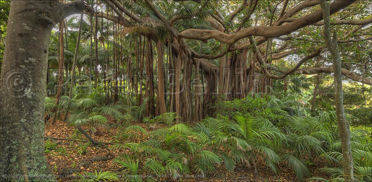 Peter Bellingham Photography Banyan Tree - Lord Howe Island - NSW T (PH4 00 11688)