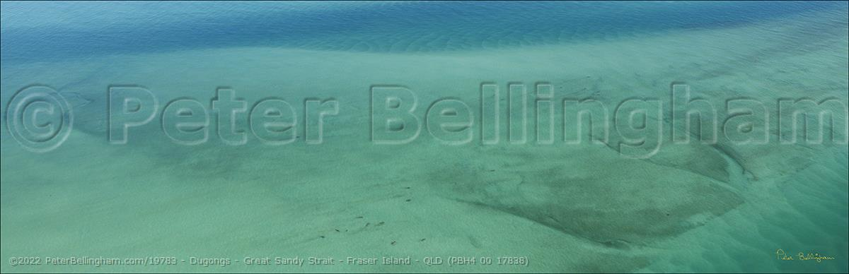 Peter Bellingham Photography Dugongs - Great Sandy Strait - Fraser Island - QLD (PBH4 00 17838)