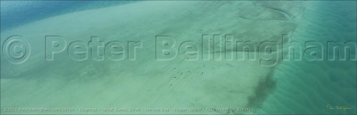 Peter Bellingham Photography Dugongs - Great Sandy Strait - Hervey Bay - Fraser Island - QLD (PBH4 00 17834)