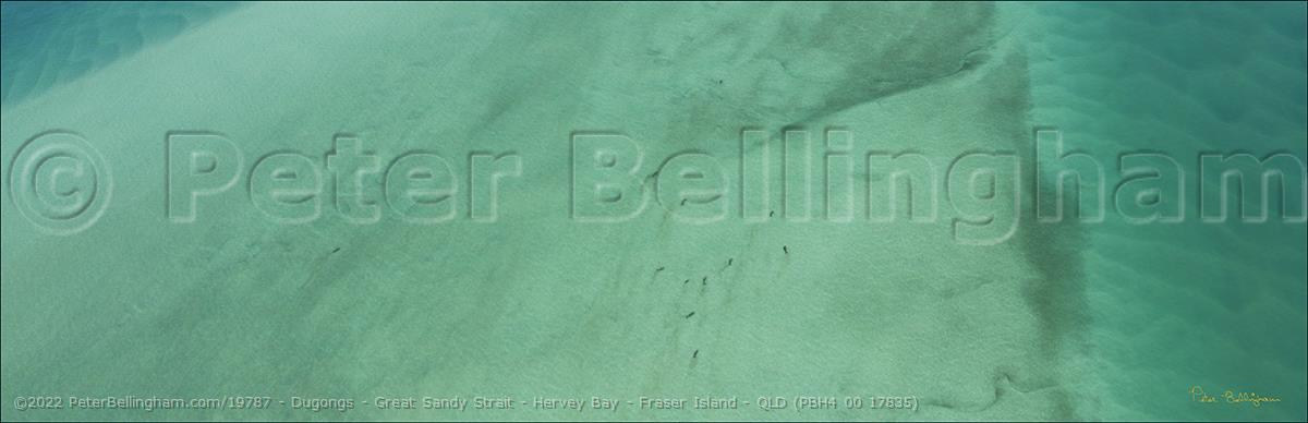 Peter Bellingham Photography Dugongs - Great Sandy Strait - Hervey Bay - Fraser Island - QLD (PBH4 00 17835)