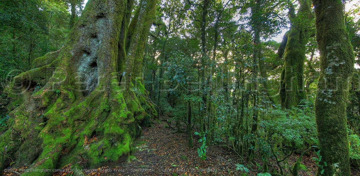 Peter Bellingham Photography Antarctic Beech Trees - Springbrook  - QLD T (PB5D 00 U3A3942)