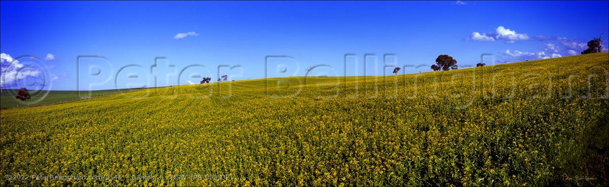 Peter Bellingham Photography Canola 3 - NSW (PB 003632)