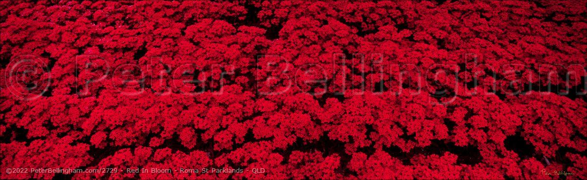 Peter Bellingham Photography Red In Bloom - Roma St Parklands - QLD