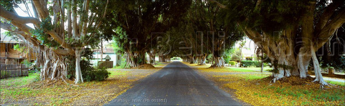 Peter Bellingham Photography Avenue of Figs 1 - Grafton - NSW (PB 001801)