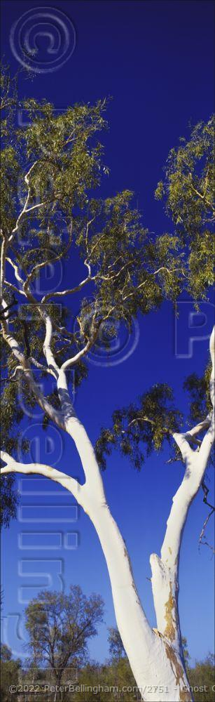 Peter Bellingham Photography Ghost Gum Close - NT