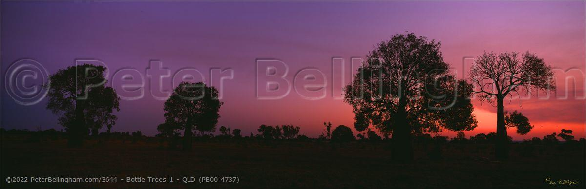 Peter Bellingham Photography Bottle Trees 1 - QLD (PB00 4737)