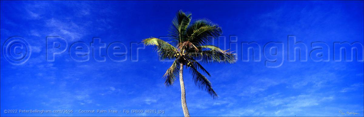 Peter Bellingham Photography Coconut Palm Tree - Fiji (PB00 4828).jpg