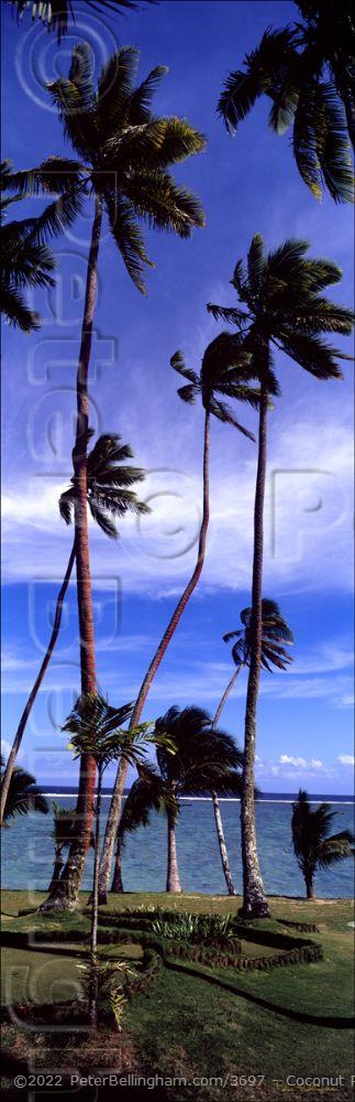 Peter Bellingham Photography Coconut Palm Trees Vertical - Fiji (PB00 4797)
