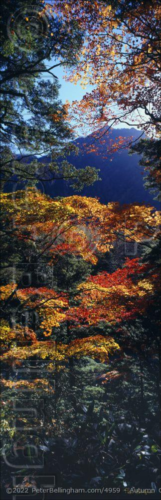 Peter Bellingham Photography Autumn Colours - Japan (PB00 6157)