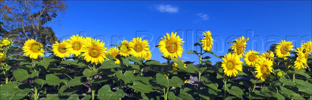 Peter Bellingham Photography Sunflowers - NSW H (PBH3 00 0415)