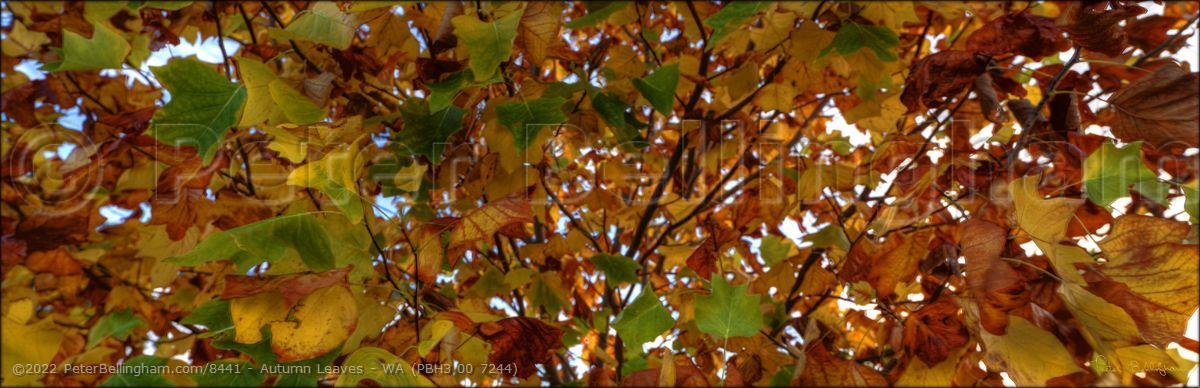 Peter Bellingham Photography Autumn Leaves - WA (PBH3 00 7244)